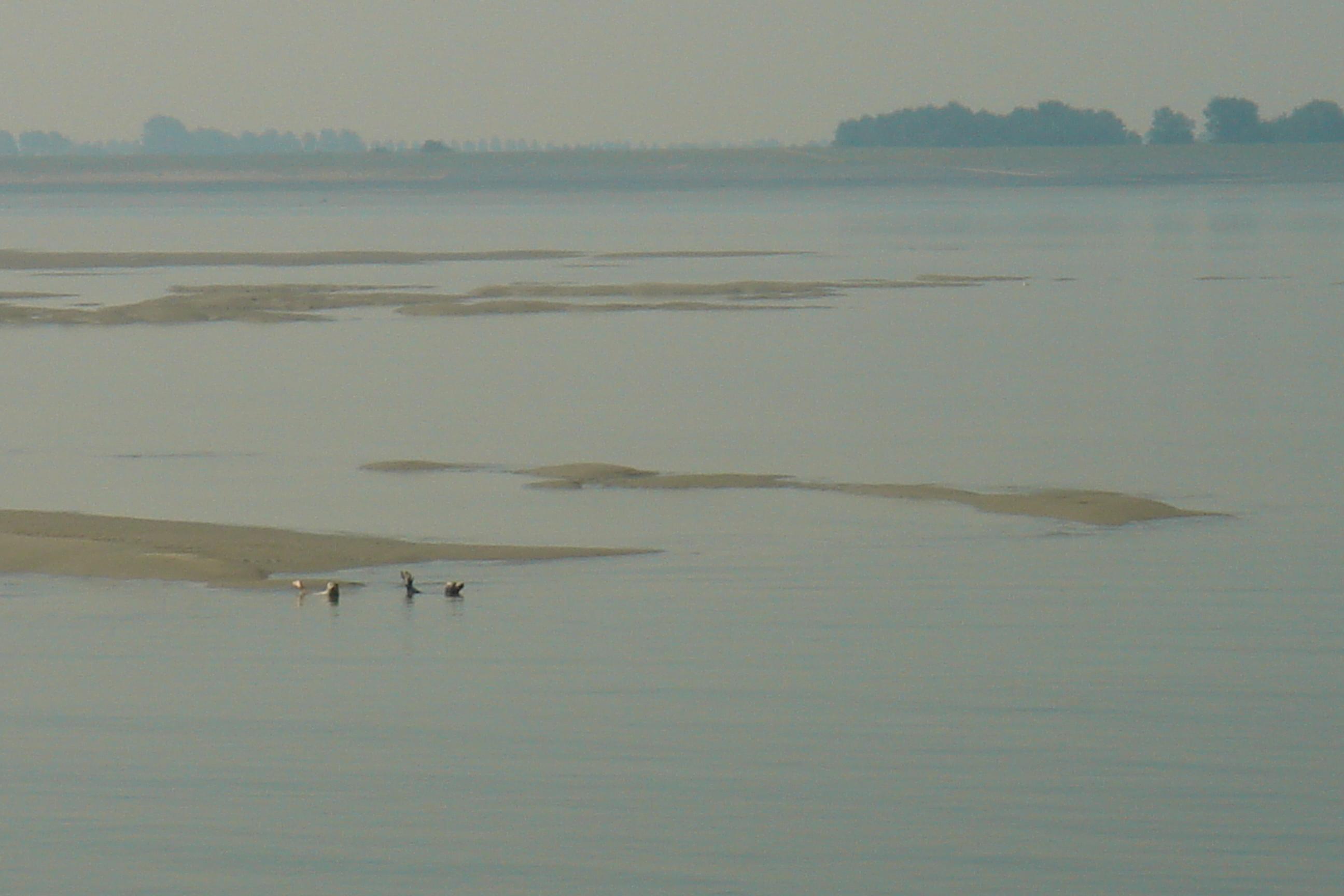 Zeehondjes op de Westerschelde
